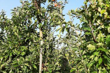 Apfelbaum vor blauem Himmel